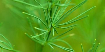 Dill - Anethum
