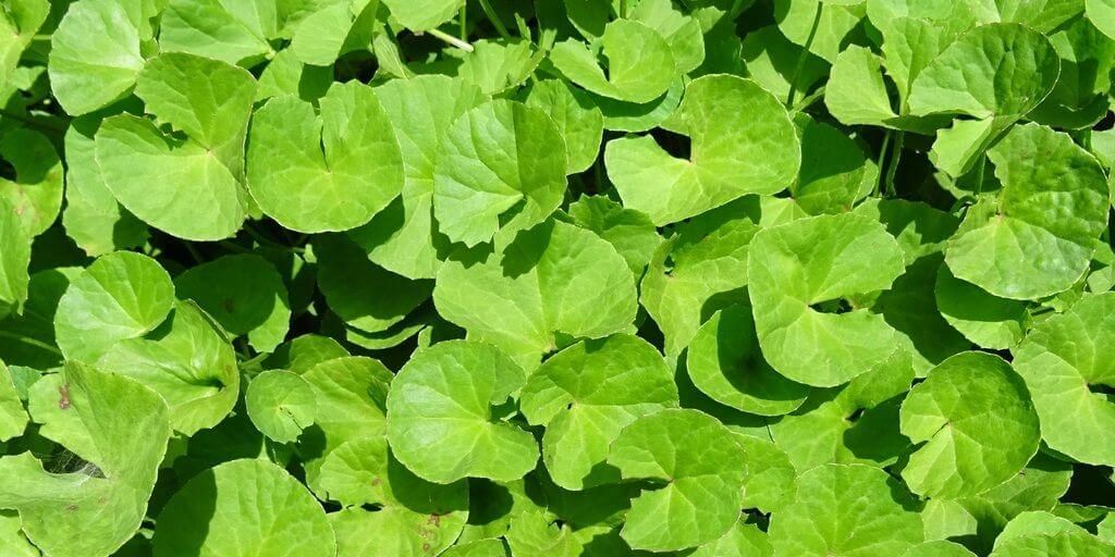 Gotu Kola Benefits & Information (Centella Asiatica)
