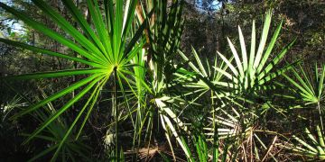 Saw palmetto - Serona repens
