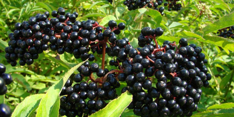 How to Treat Colds With Elderberry