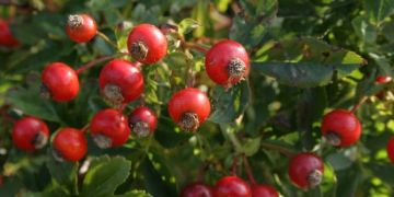 Rose hip / Rosehip