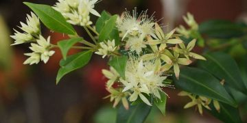 Lemon Myrtle - Backhousia Citriodora