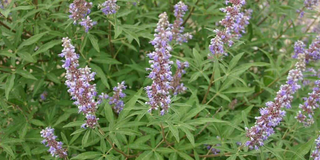 Vitex agnus-castus Benefits & Information