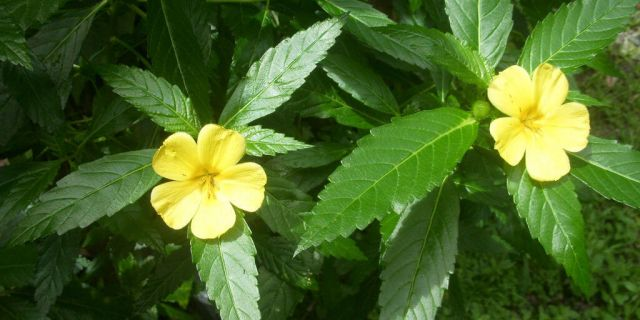 damiana benefits & information (turnera diffusa), Skeleton